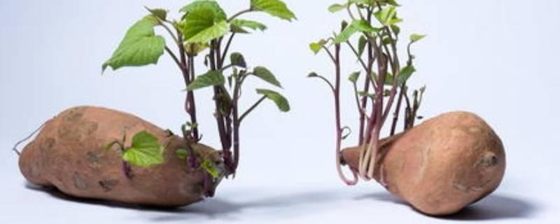 红薯有点发芽了还能吃吗(红薯稍微有点儿出芽还能吃吗)插图