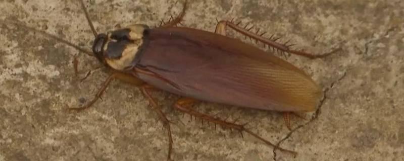 蟑螂怎么消灭最彻底土方法(蟑螂怎么除最彻底)插图